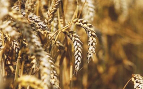 duty free wheat import approved to meet ongoing crisis