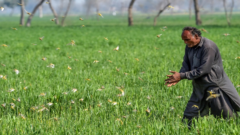 Japan to provide insecticide to Pakistan to battle locust swarms invasion