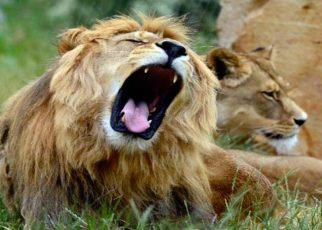 3 booked for torturing lions to death