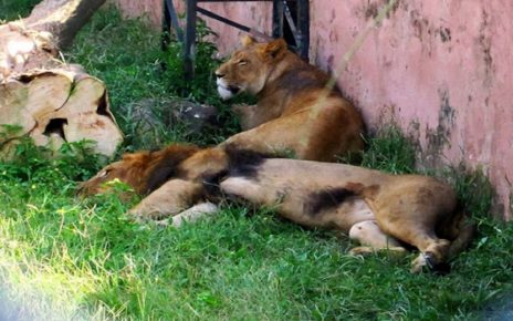 WWF-Pakistan condemns ill-treatment of lions in Islamabad Zoo